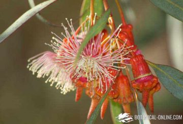 flores eucalipto coral torquata