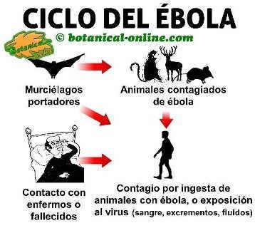 ciclo del virus ebola, como se contagia