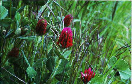 Flor Trèvol, Trifolium medium L.