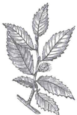 fagus crenata