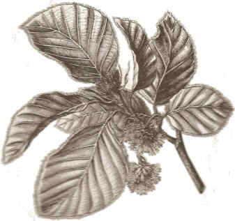 hojas y frutos