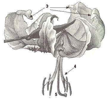 liliácea