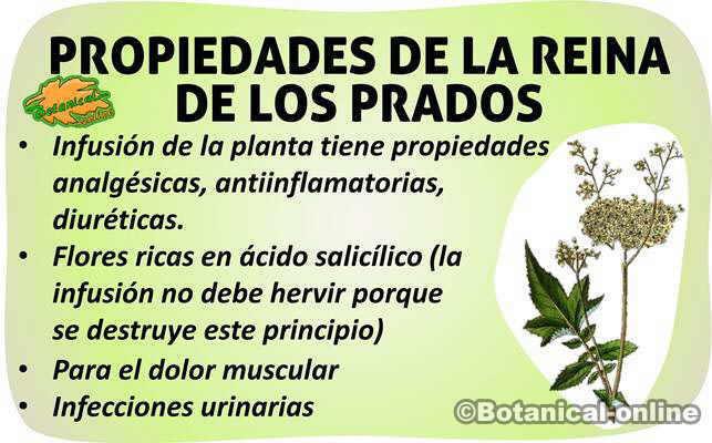 propiedades filipendula ulmaria reina de los prados planta medicinal