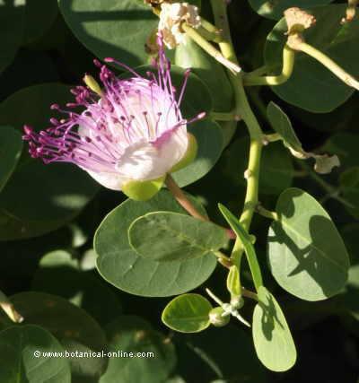 Flor de alcaparra