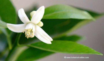 flor de naranjo