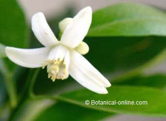 flor de azahar