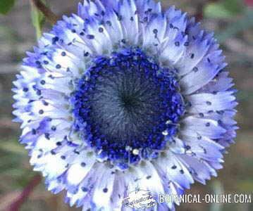 globularia alypum coronilla de fraile