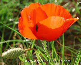 flor papaveracea