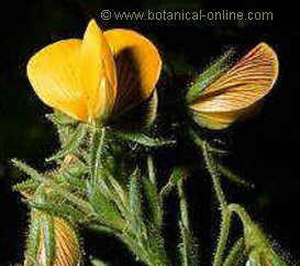 flor papilionacea