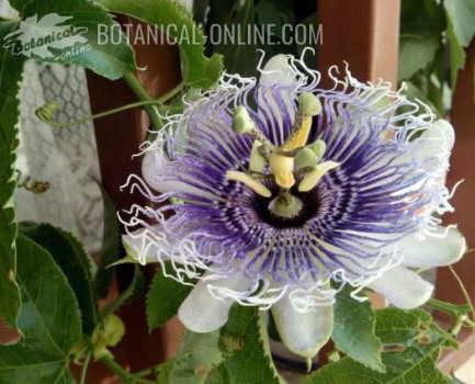 foto flor de la pasion enredadera planta passionaria