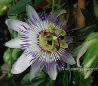 flor de la pasion passionaria
