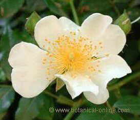 flor rosácea