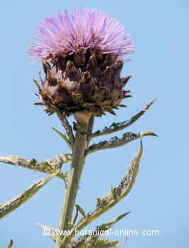 Flor de alcachofa