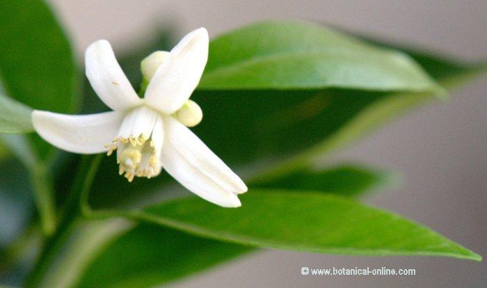 Flor Taronger, Citrus x sinensis