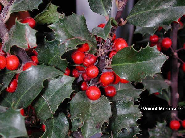 El cultivo del acebo - Cuidados planta navidad ...