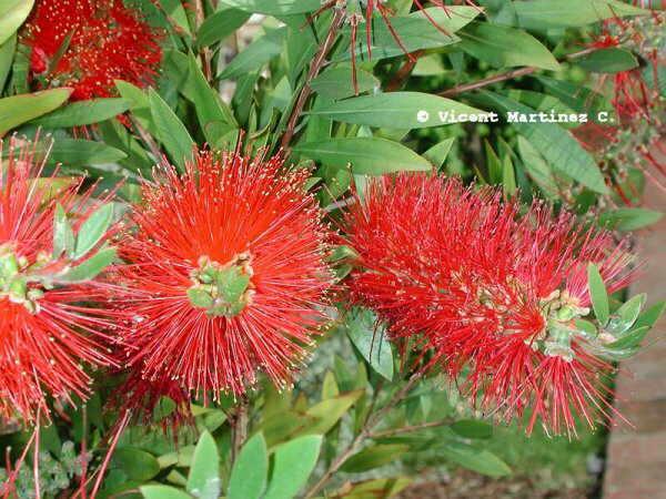 Foto de flor de callistemon