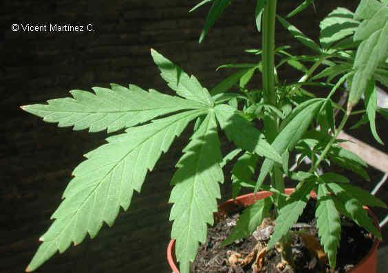 foto de marihuana