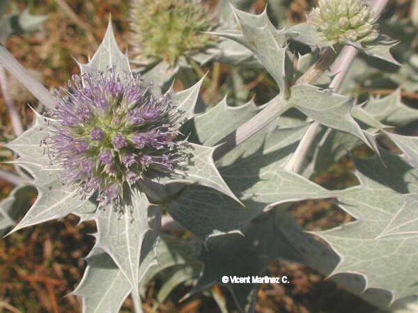 Flor Panical marí, Eryngium maritimum L.