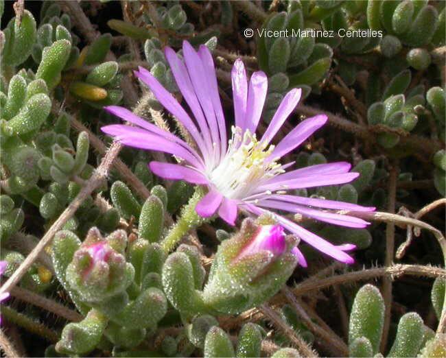 Flor  Cabellera de la reina, Drosanthemum floribundum