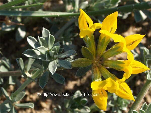 Flor Trèvol femella, Lotus cytisoides (L.) Arcang.