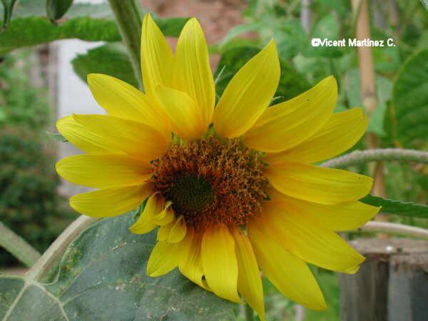 Flor Gira-sol , Helianthus anuus L.