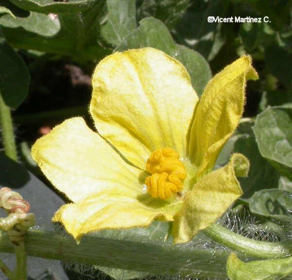 Flor  Carabassa, Cucurbita pepo