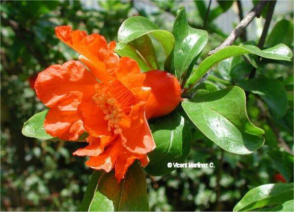 Flor Magraner, Punica granatum L.