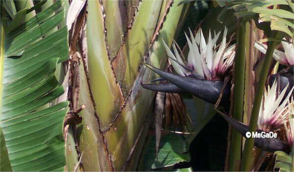 Flor Au del paradis, Strelitzia nicolai