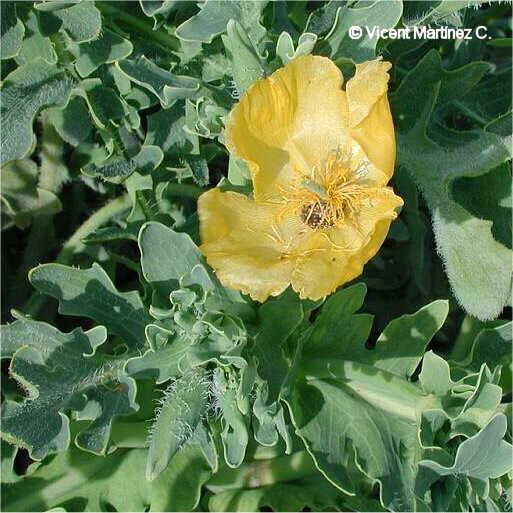 Flor Cascall marí, Glaucium flavum