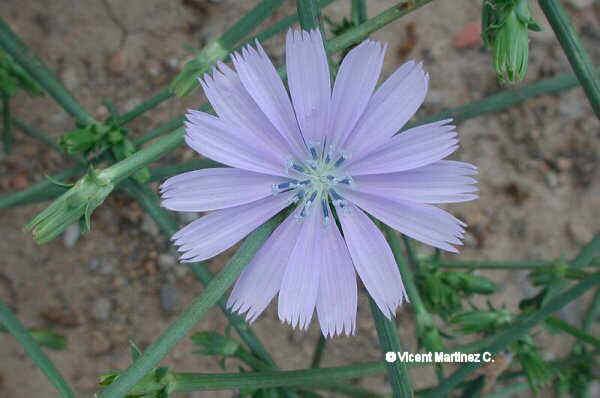 Flor Xicoria, Cichorium intybus L.