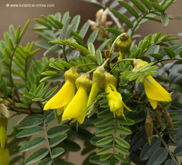 Flor Sòfora, Sophora macrocarpa