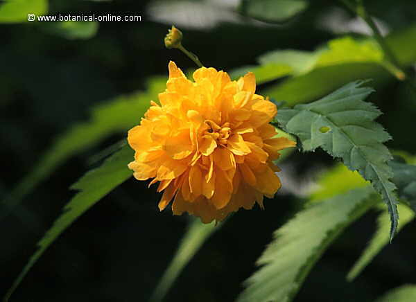 Flor Kerria, Rosa japonesa, Kerria Japonica