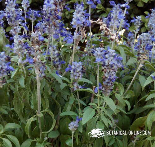 Flor Sàlvia blava / Sàlvia ornamental / Sàvia perenne, Salvia farinacea