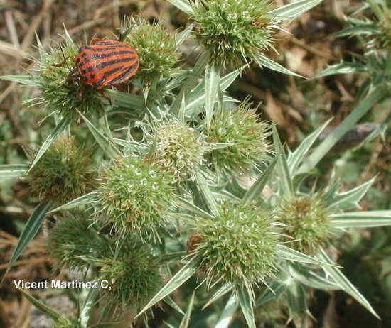 Flor Panical, Eryngium campestre L.