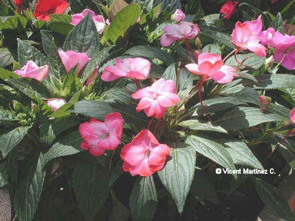 Flor Alegria de la casa, Impatiens walleriana