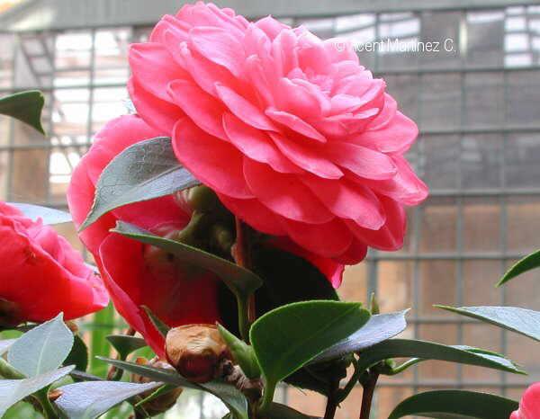 Flor Camèlia, Camellia Japonica