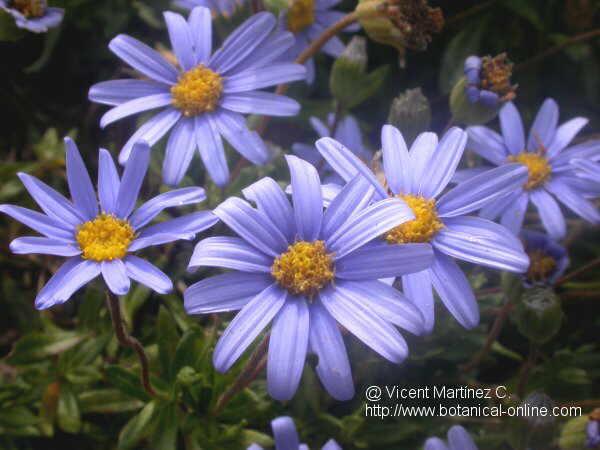 Flor Margarida blava, Felicia amelloides
