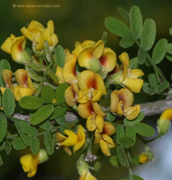 Flor Xanyar, Geoffroea decorticans
