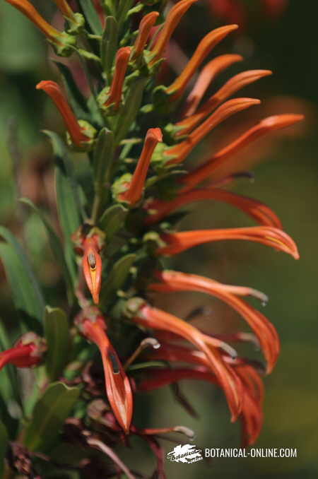 Flor Tupa, Trupa, tabac del diable, Lobelia excelsa