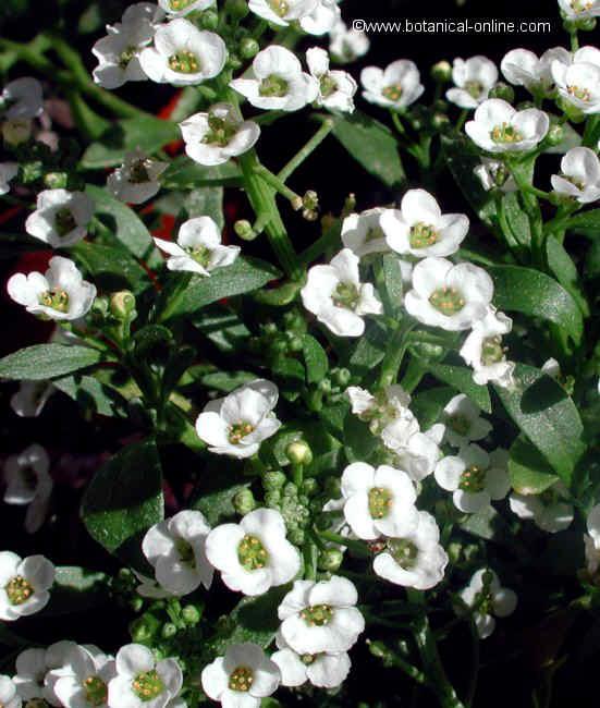 Flor Caps blancs, Alysum maritimun