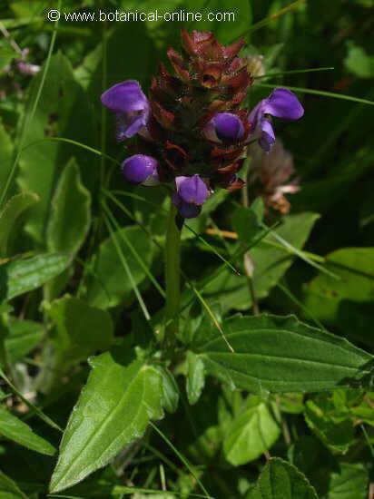 Flor Prunel·la grandiflora, Prunella grandiflora