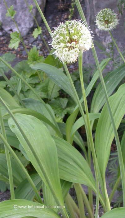 Flor ---, Allium victorialis