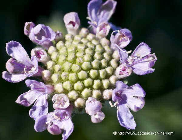Flor Herba penyalera, Scabiosa cretica