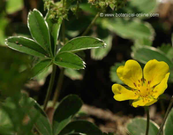 Flor Herba estelada, Alchemilla alpina