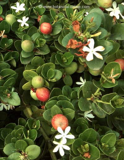 Flor Carissa / Prunera de Natal, Carissa macrocarpa
