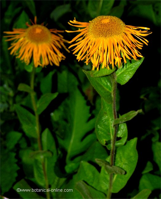 Flor Inula, Inula grandiflora