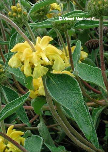 Flor Salvió, Phlomis fruticosa