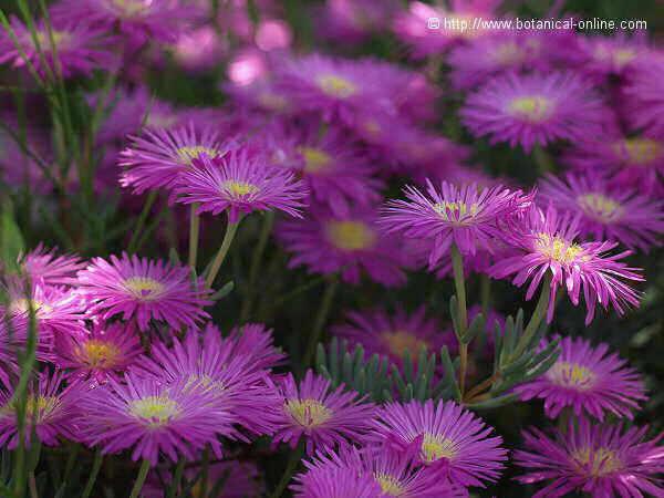 Flor Lamprantus, Lampranthus spp.