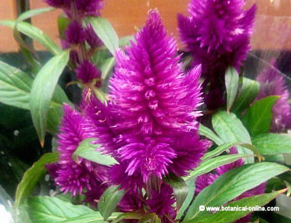 Flor Vellutet / Cresta de gall, Celosia argentea var. plumosa