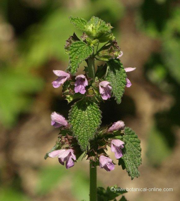 Flor Malrubí negre, Ballota nigra